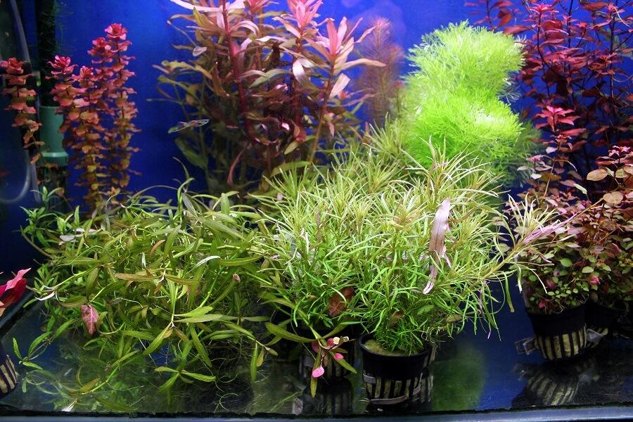 Pour les aquariums équipés en CO2